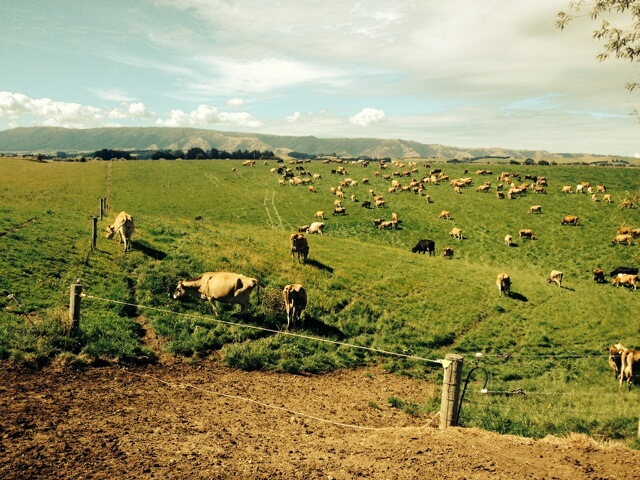 Cows eating treated grass